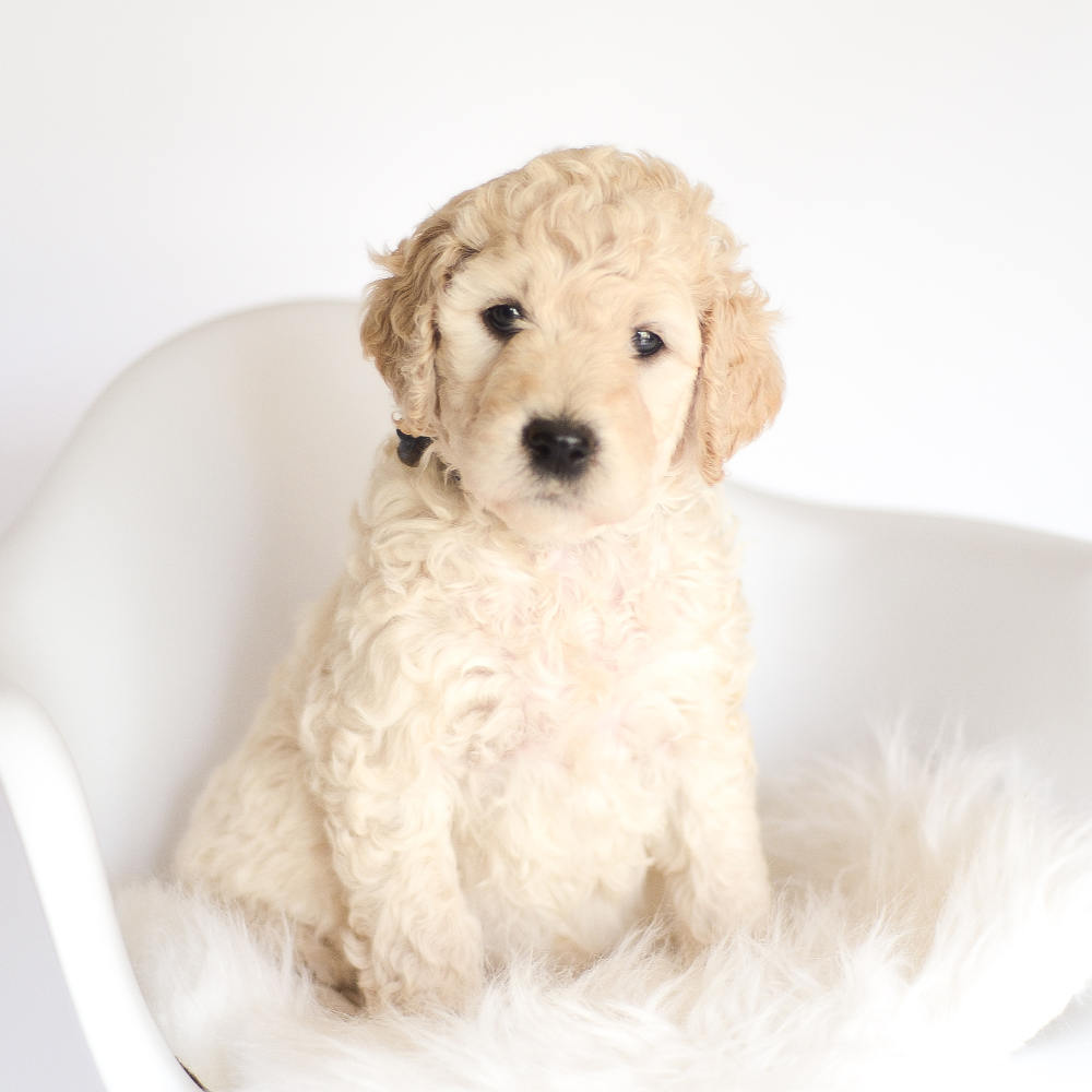 A picture of one of our first litter puppies. Our focus is to produce healthy, low to non-shedding, and well socialized goldendoodle and sheepadoodle puppies