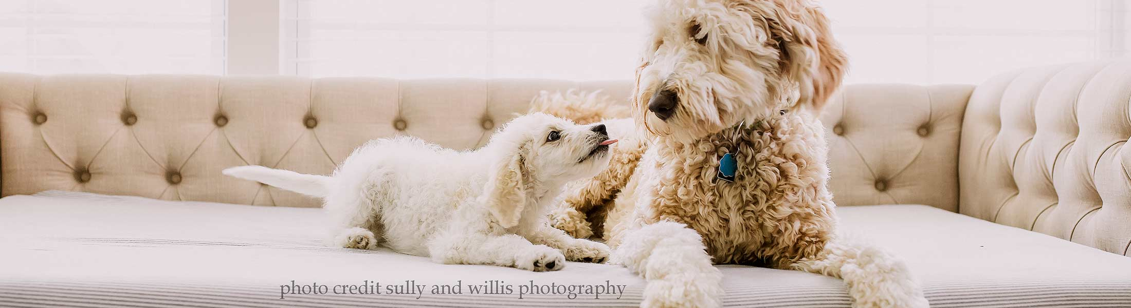 A picture of one of our Goldendoodle puppies playing with their new older brother - adorable!