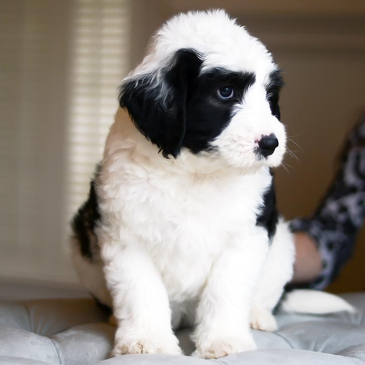 Goldendoodle and Sheepadoodle Puppies from South Carolina
